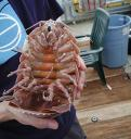 Songs for Giant Isopods