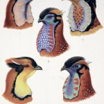 Science Art: <i>Wattles of Cock Tragopans</i>, by William Beebe, from <i>A Monograph on Pheasants</i>, 1918-1922.