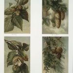Science Art: <i>Hickory, Norway Spruce, Chestnut, and Red Cedar &#038; Pitch Pine</i>, L. Prang chromolithograph.