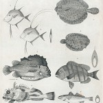 Science Art: <i>Plate II, Mitchill&#8217;s Fishes of New-York</i>, by Alexander Anderson, 1815.