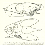 Science Art: <i>Fig. 4, Sketch of skull of </i>Desmatochelys lowi, from <i>Fieldiana: Geology</i>, Vol. 14, 1960.