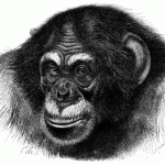 Science Art: <i>Chimpanzee</i>, from <i>Brehm&#8217;s Tierleben</i>, 1860s.