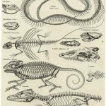 Science Art: <i>Reptile Skeletons and Skulls</i>, from <i>Allgemeine Naturgeschichte fr alle Stnde</i>, 1835