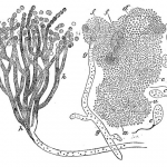 Science Art: <i>Simplest Mode of Development of Monads and Fungi from the Pellicle</i>, 1871.