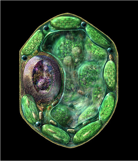 Science Art: Plant Cell Structure, by Russell Kightley ...