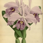 Science Art: <i>Cattleya Maxima Backhousei</i> by John Nugent Fitch, 1886