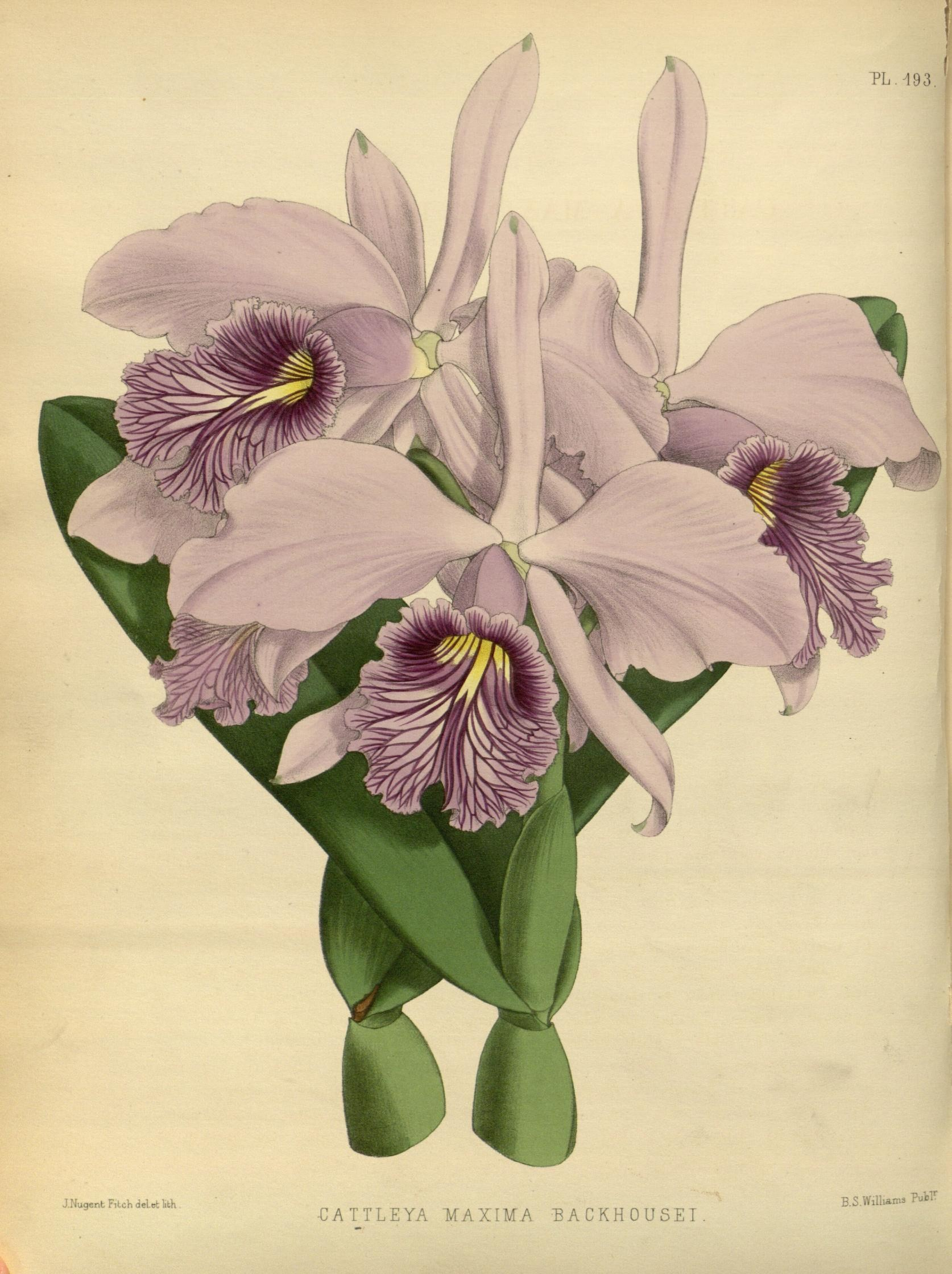 cattleya_maxima_backhousei