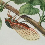 Science Art: <i>The periodical cicada (&#8221;</i>Magicicada septendecim<i>&#8221;), Plate 7,</i> from <i>Insects, their way and means of living</i>, by R. E. Snodgrass.