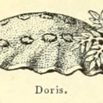 Science Art: <i>Doris</i>, from <i>Le Larousse Pour Tous</i>, 1909.