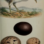 Science Art: <i>Chick and Egg of Tinamou &#038;c</i>, from <i>Proceedings of the Zoological Society of London</i>, February 13, 1868
