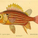 Science Art: <i>Holocentre à grosses épines</i>, from <i>Histoire Naturelle des Poissons</i>, Volume 3, 1828