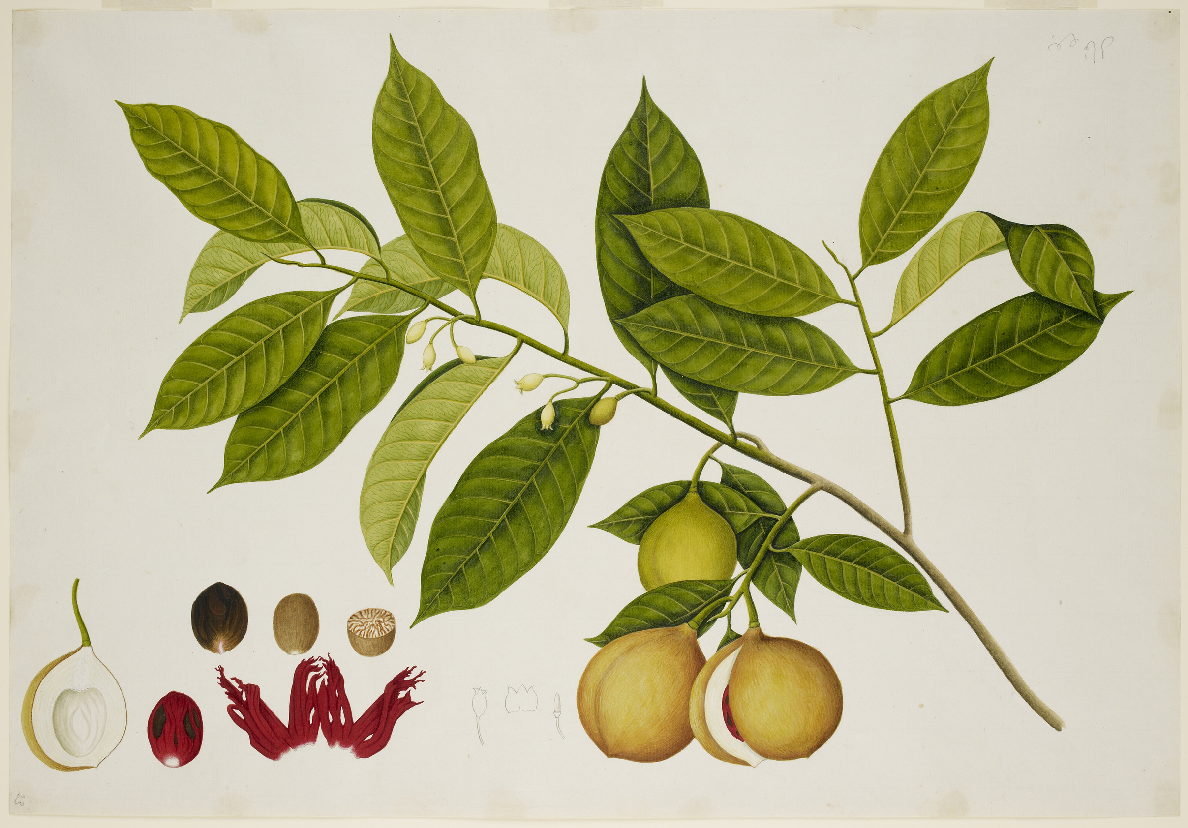 Nutmeg Tree, for Sir Stamford Raffles.