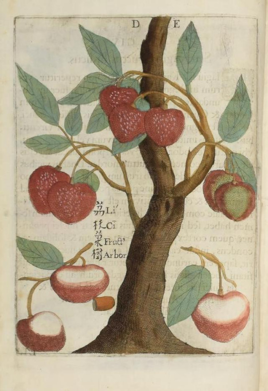 A lychee. By Michel Boym, from http://www.biodiversitylibrary.org/bibliography/123322#/summary