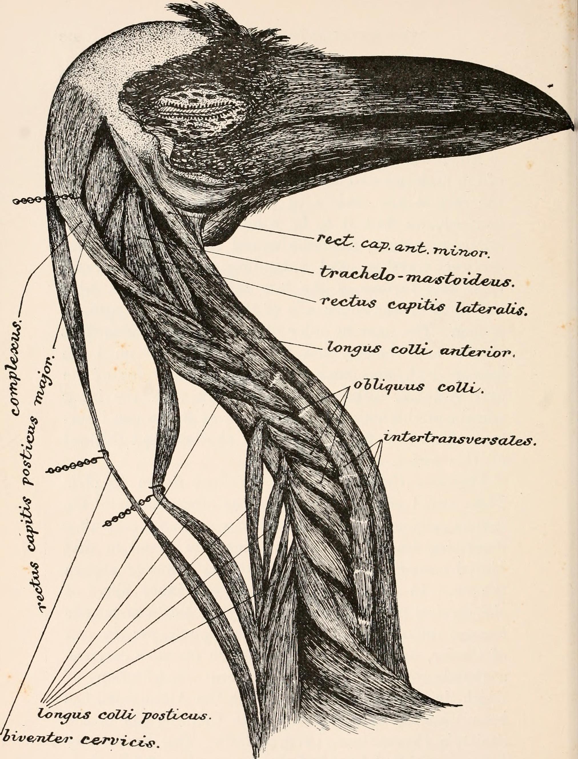 Corvus corax sinuatus