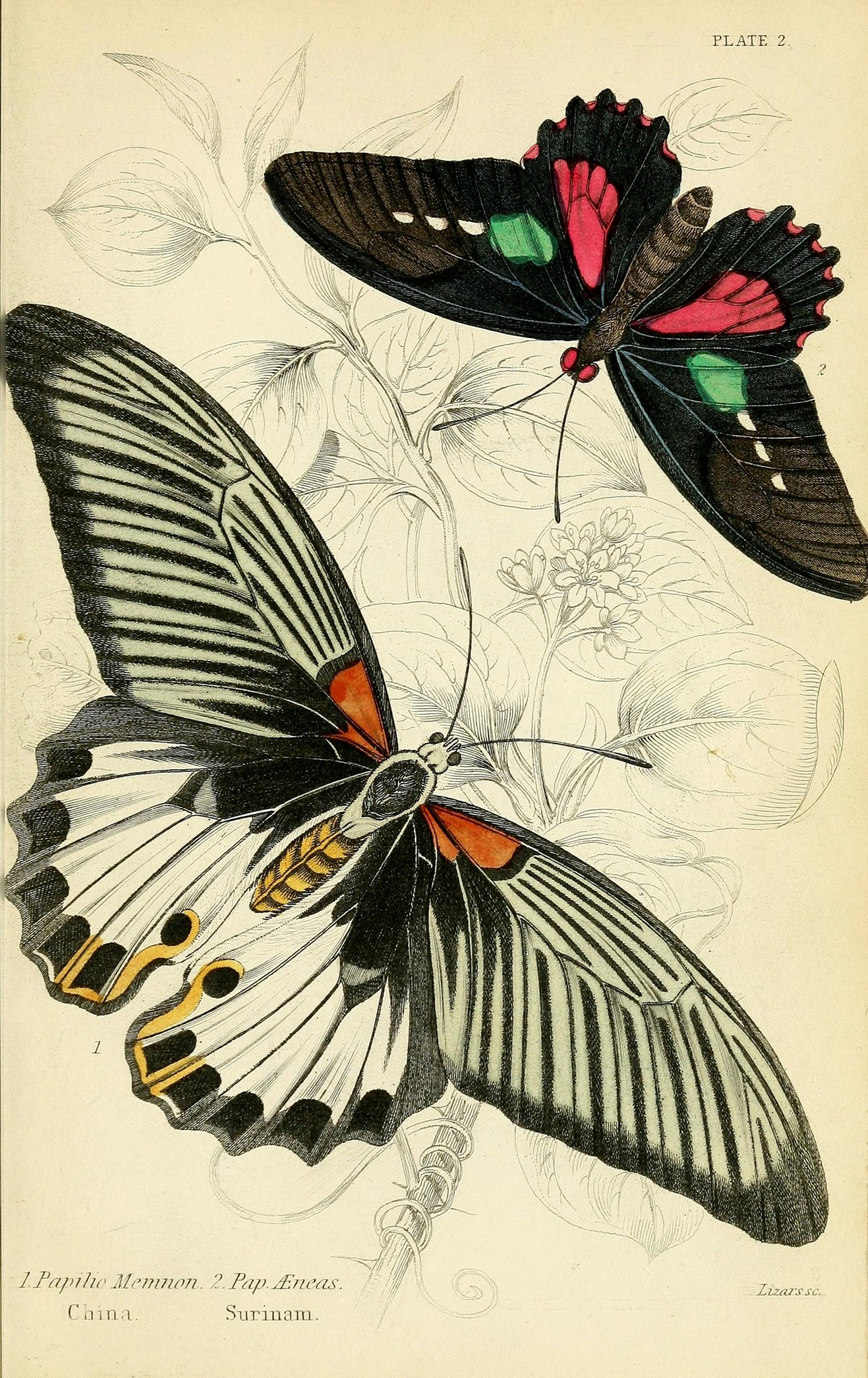 from Foreign Butterflies: http://www.biodiversitylibrary.org/bibliography/44242#/summary
