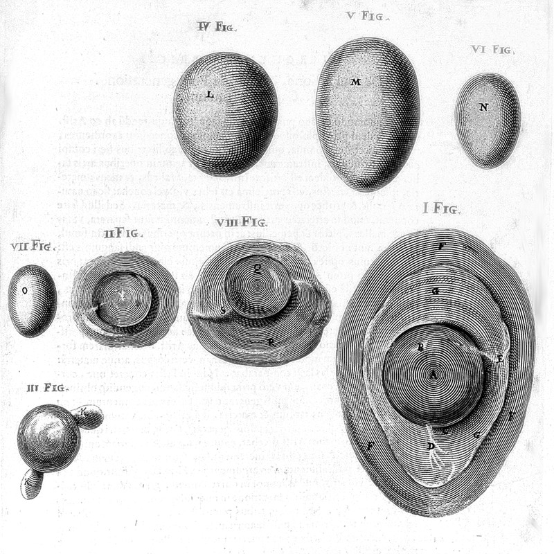 Growth of Egg of Hen, from De formatione ovi, et pulli / [Fabricius ab Aquapendente]