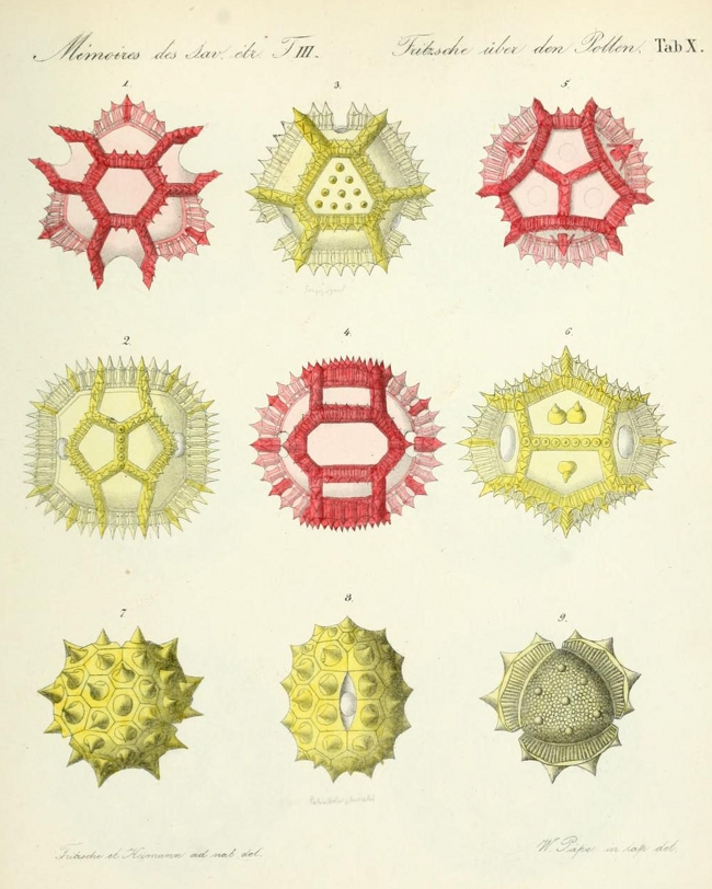 From Pollen Up Close: http://publicdomainreview.org/collections/pollen-up-close-1837/