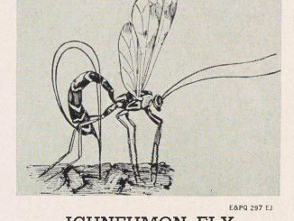 Ichneumon Fly, a scientific illustration