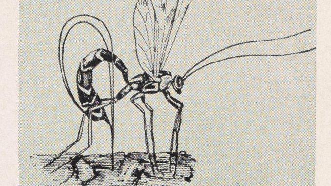 Ichneumon Fly, a scientific illustration