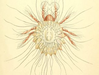 A scientific illustration of a mite.