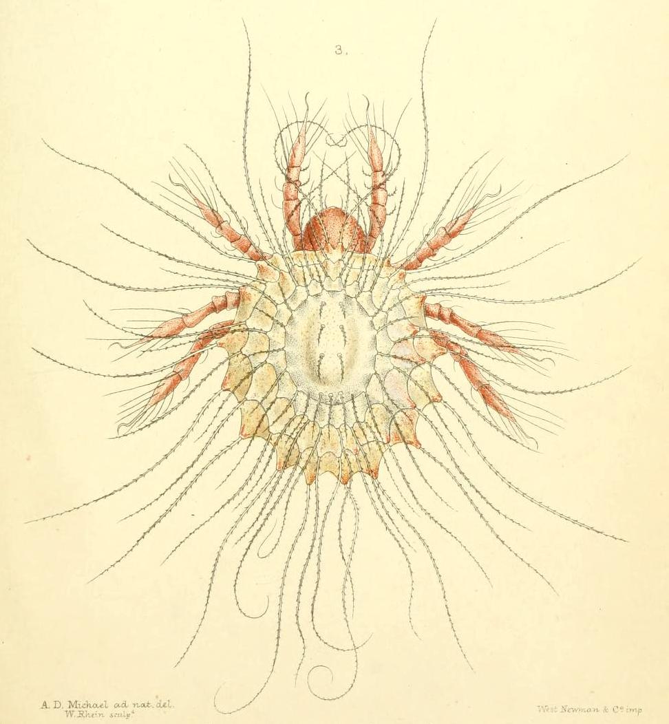 A scientific illustration of a mite.