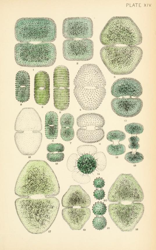 Scientific illustration of desmids (algae)