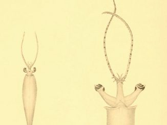 Scientific illustration of three kinds of squid, from 1912