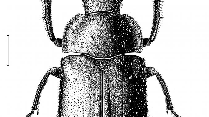 A scientific illustration of a beetle Des Helmore / Manaaki Whenua – Landcare Research.