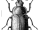 A scientific illustration of a beetle Des Helmore / Manaaki Whenua – Landcare Research.