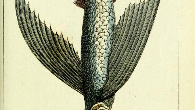 Scientific Illustration by DF Sotzmann of a tub gurnard or sapphirine gurnard, a kind of sea robin.