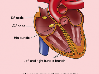 Scientific illustration of human anatomy; The normal conduction system of the heart, by Rob Kreuger