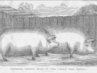 "Scientific illustration of Genesee County ""swill-pail"" hogs, from Moore's Rural New-Yorker, 1862."