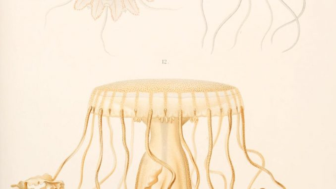 Scienitific illustration of jellyfish from the 1800s, the Valdivia Expedition
