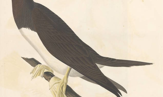 Scientific illustration of a booby gannet by John James Audubon, who liked birds.
