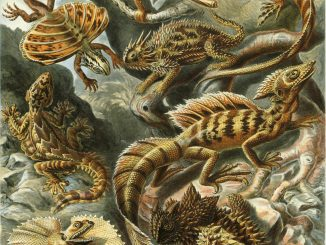 Scientific illustration of lizards by Haeckel