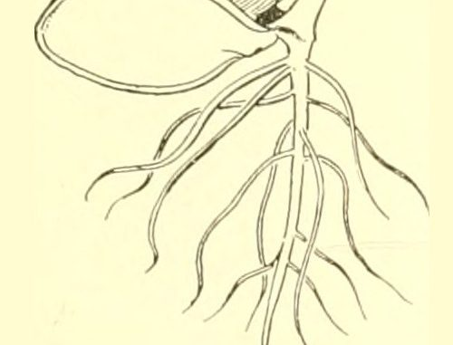 Scientific illustration of a seed sprouting.