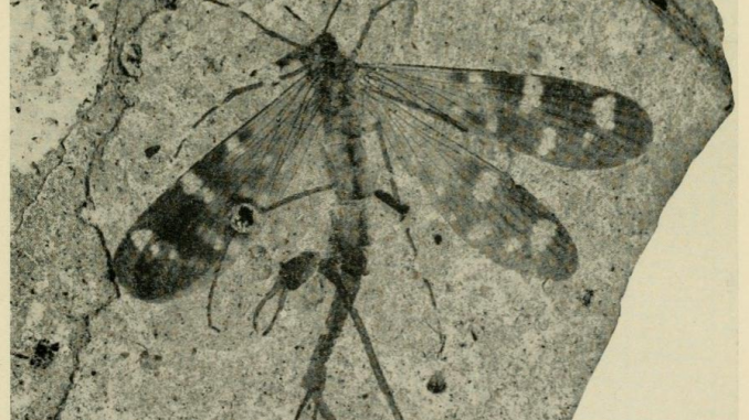 A scientific illustration of a fossil insect, a scorpionfly