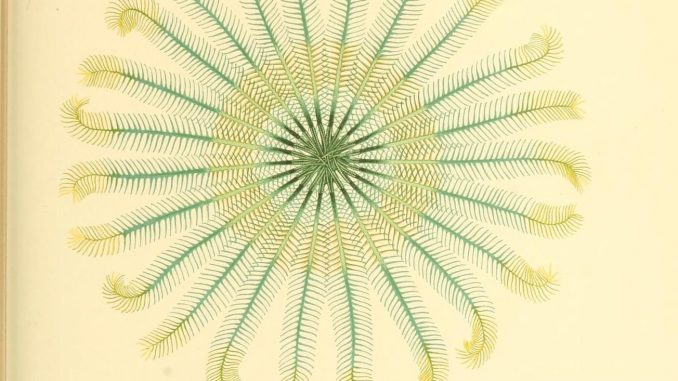 scientific illustration - a photo, really - of an unstalked crinoid, a kind of marine animal related to a starfish