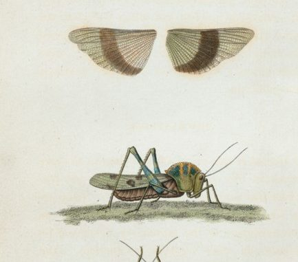 Scientific Illustration of field crickets: insects useful in interior design.