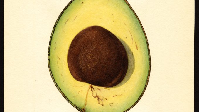 Scientific Illustration of a Taft avocado, from the USDA Pomological Watercolors