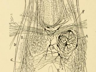 Scientific illustration of the nervous system of a new-born dog.