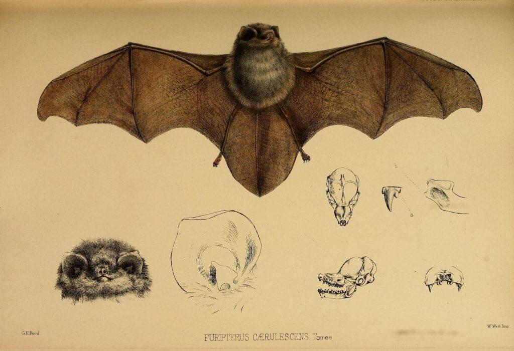 Science Art: <i>Thumbless Bat</i>, 1857