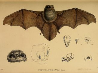 Scientific illustration of the thumbless bat, Furipterus horrens, what eats bugs in Costa Rica