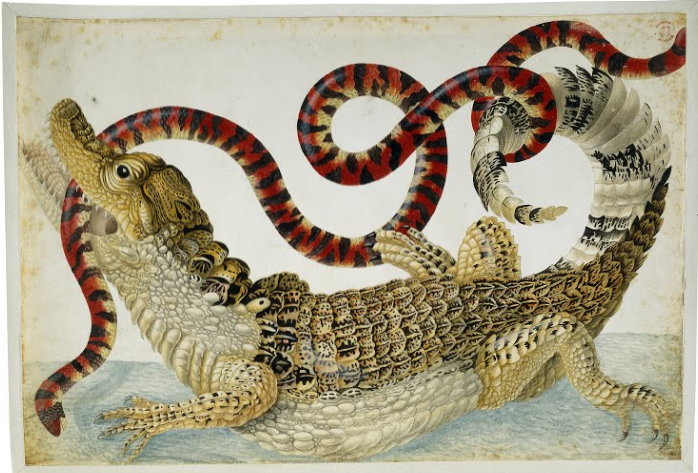 Science Art: <i>Spectacled Caiman and a False Coral Snake</i> by Dorothea Maria Graff