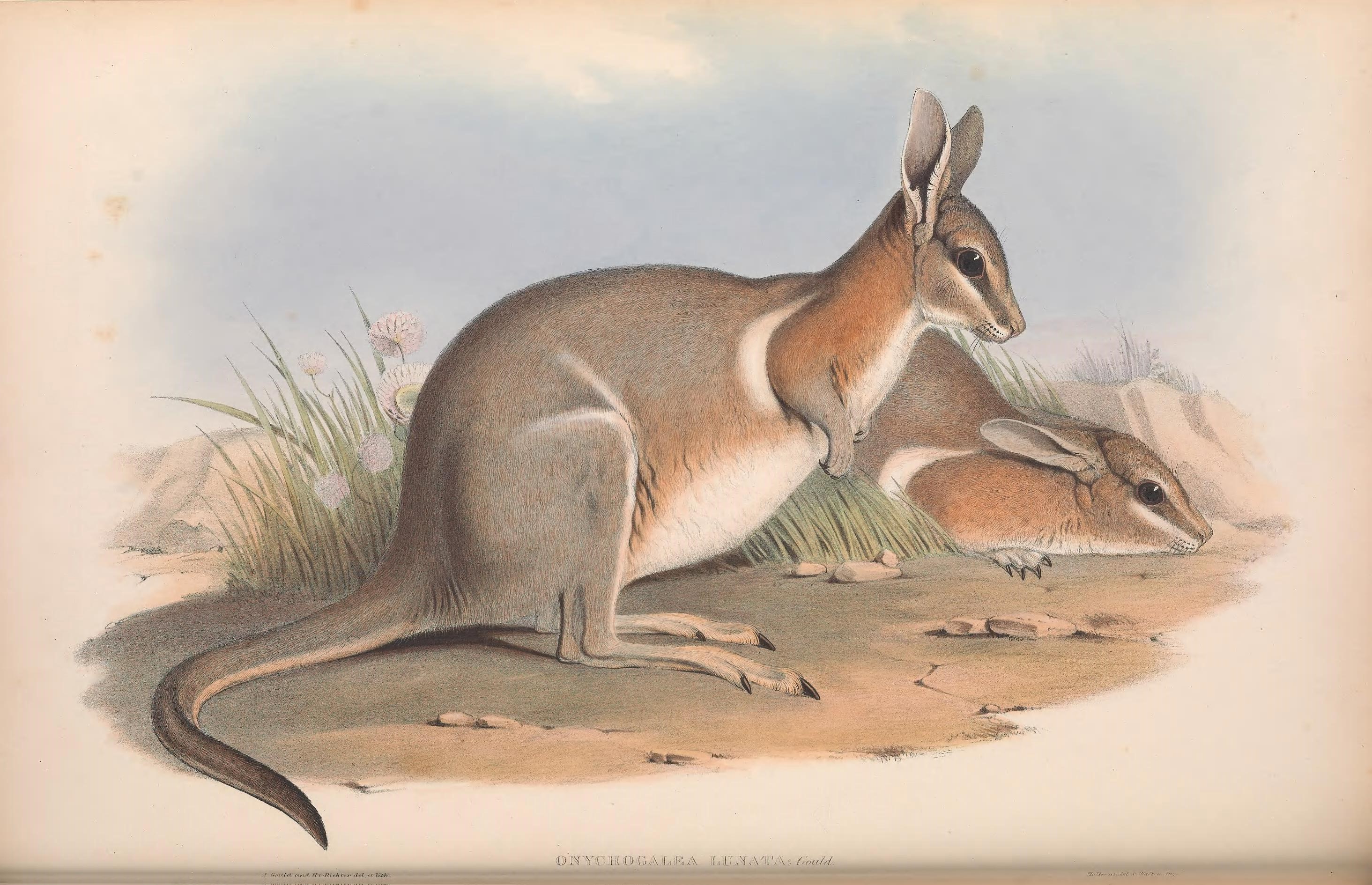 From John Gould's *The Mammals of Australia*, 1863: https://www.biodiversitylibrary.org/page/49740861#page/7/mode/1up