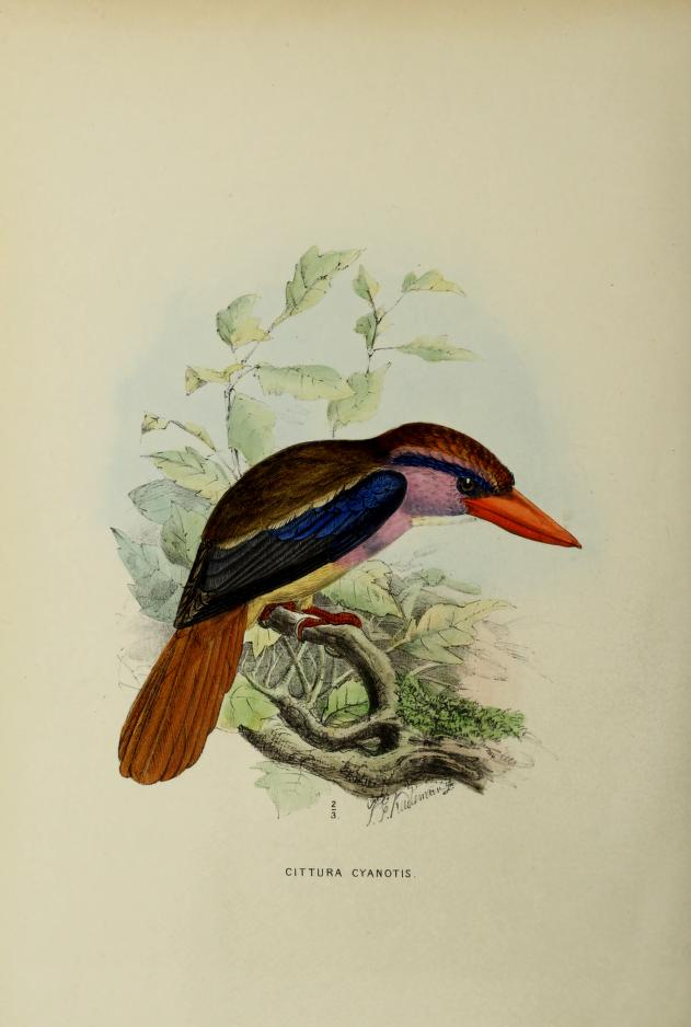 Scientific illustration of a lilac kingfisher, an Indonesian bird, from the Biodiversity Heritage Library.