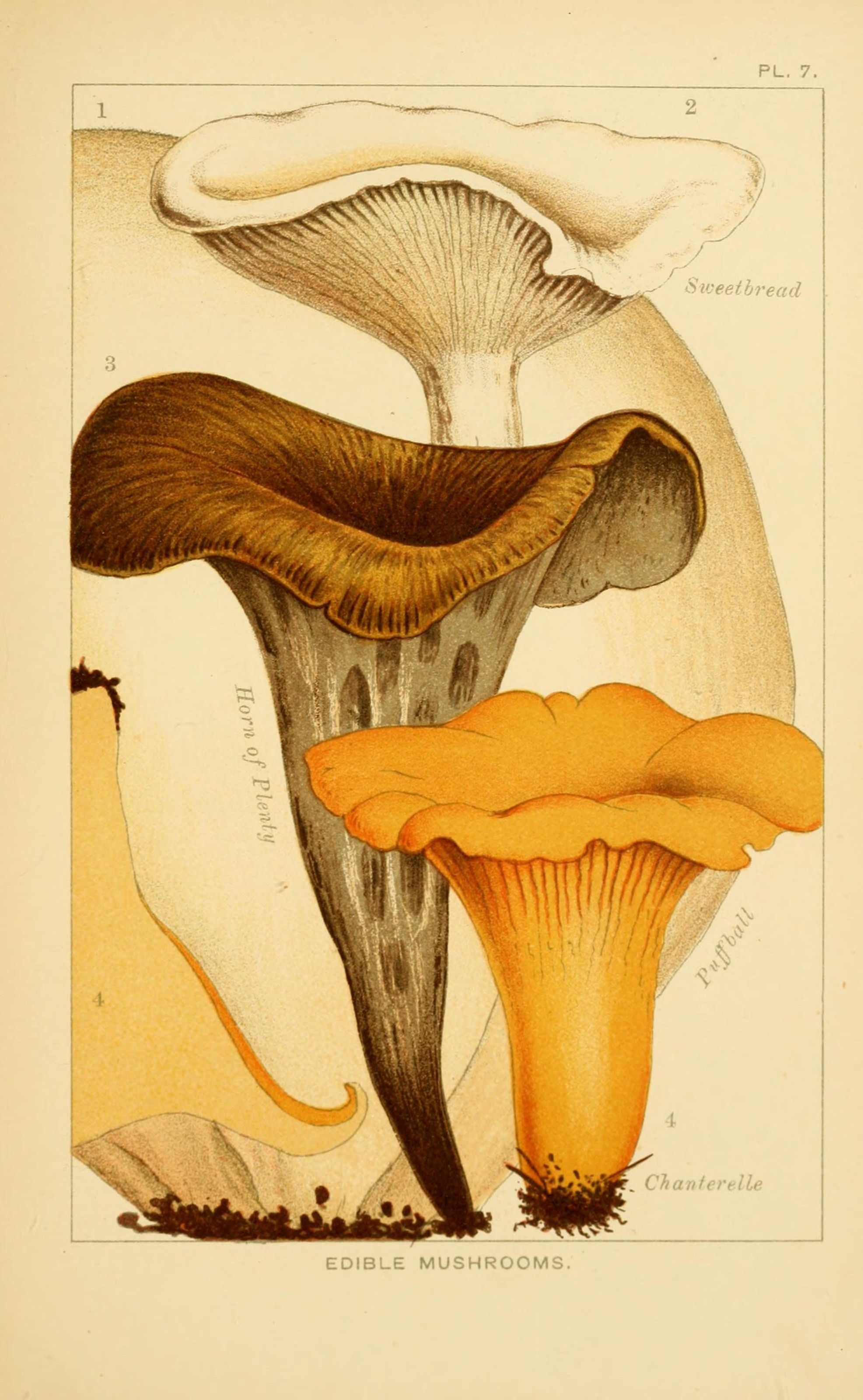 Scientific illustration of a puffball, sweetbread, horn of plenty and chanterelle mushroom, from Edible and poisonous mushrooms:. London,Society for Promoting Christian Knowledge,1894.