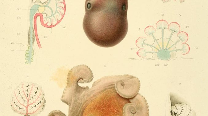 Scientific illustration of octopuses from an expedition by Prince Albert I of Monaco, a keen oceanographer and biologist.
