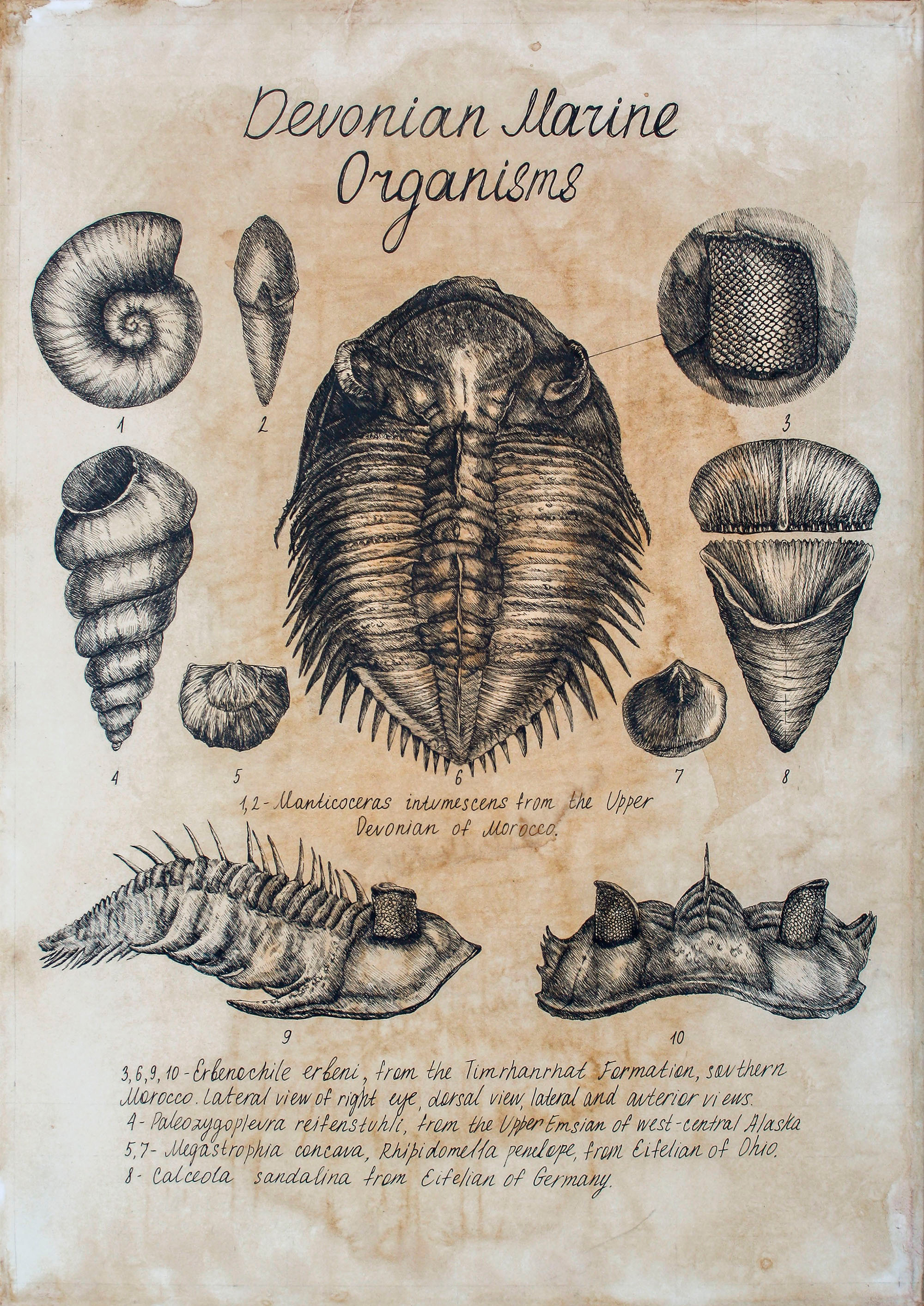 scientific illustration of prehistoric shellfish and a trilobite.