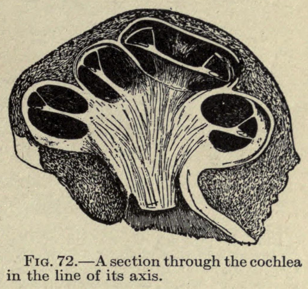 Scientific illustration of the cochlea - the inner ear.
